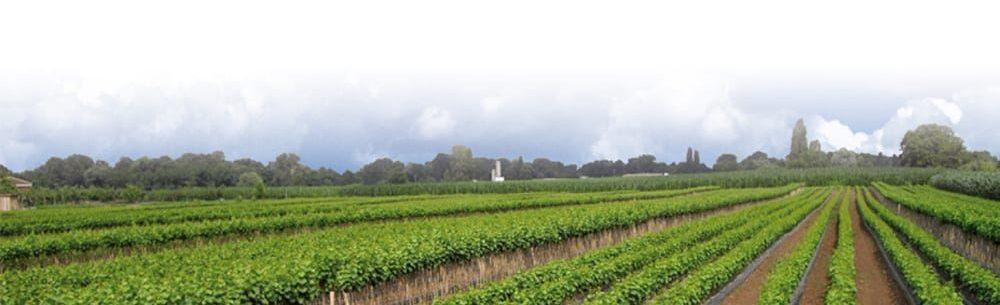 champ viticole